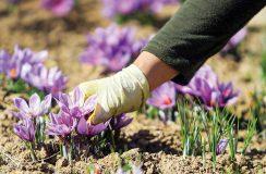 زعفران گران میشود؟