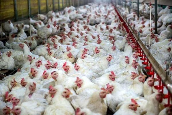 گرانی مرغ نتیجه بدعهدی وزارت صمت به مرغداران است/ از سال ۸۶ به مرغداران بدهکارند