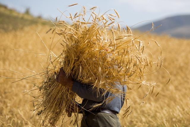 واردات گندم همچنان ممنوع است