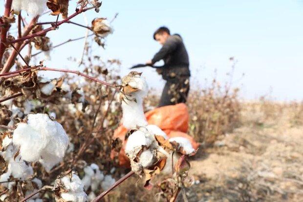 کشت ۲ هزار هکتار پنبه در استان های ایلام و لرستان