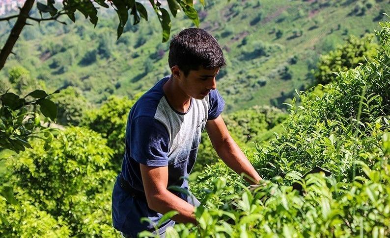 نگرانی درباره ورود چای سنواتی دیگر کشورها به ایران