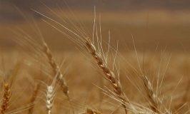 روسیه بزرگترین صادرکننده گندم جهان میشود