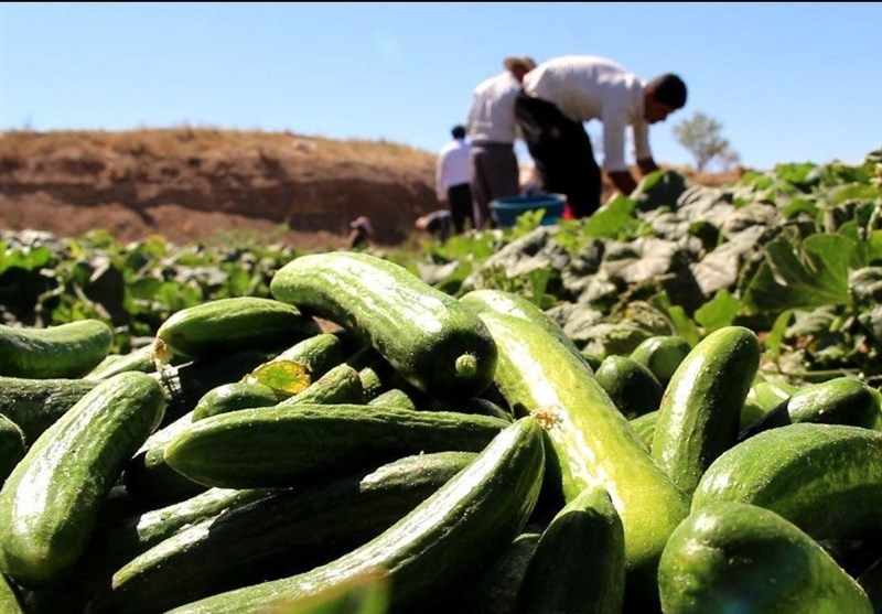خیار دست کشاورزان باد کرد/کاهش قیمت خرید خیار به ۲۰۰ تومان
