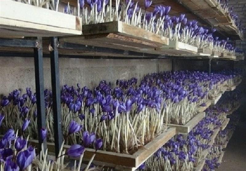 کل تولید زعفران ایران تا ۳ سال آینده به گلخانه میرود