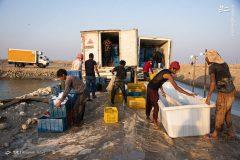 برداشت میگوی پرورشی در استان بوشهر آغاز شد