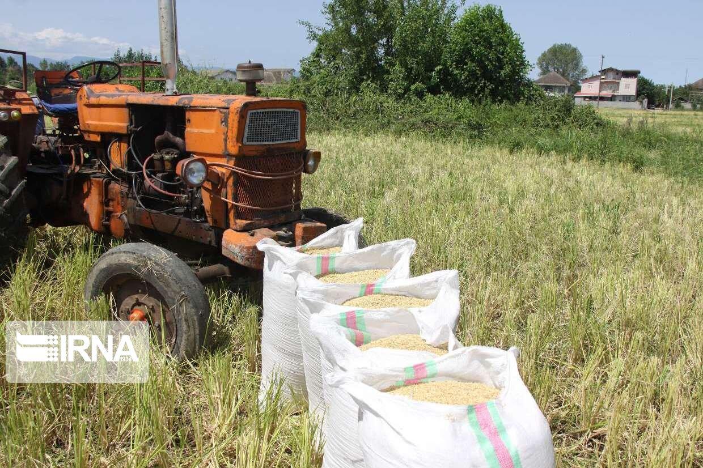 تولید برنج امسال از مرز ۲.۶ میلیون تن گذشت