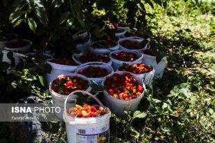 برداشت توت فرنگی در کردستان