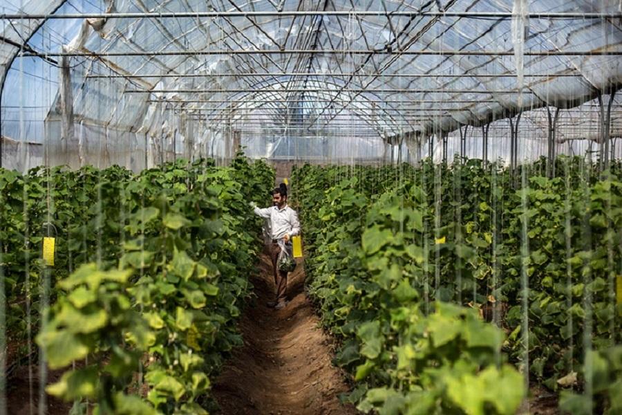 تولید بیش از ۲ میلیون تن محصول گلخانه ای در سال جاری